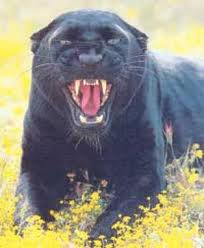 Snarling Panther in the grass