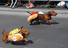 Dachunds wearing hotdog buns racing